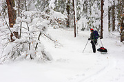 Backcountry skier pulling sled through snow covered forest, Los Padres National Forest, California USA