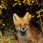 Red Fox (Vulpus fulva).  Portrait of a fox peering out from the willows.  Fall in Alaska.