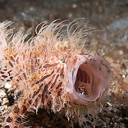 Yawning hairy frogfish (Antennarius striatus) with mouth wide open. Lembeh Strait, North Sulawesi, Indonesia.