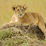 African Lion (Panthera leo) cub resting in Masai Mara National Reserve, Kenya, Africa.