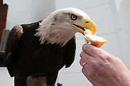 on one of the hottest days of the year 'Kayla' the Crystal Palace Eagle eats an ice cream  outside Selhurst Park before k/o. Barclays Premier League match, Crystal Palace v Stoke City at Selhurst Park in London on Saturday 7th May 2016. pic by John Patrick Fletcher, Andrew Orchard sports photography.