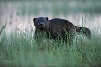 Eurasian Wolverine, Gulo gulo<br /> Kuhmo, Finland