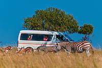 A tour bus watches zebras at close range, Lion Park, near Johannesburg, South Africa.
