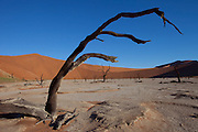 Dead Vlei is a clay pan located near the more famous salt pan of Sossusvlei in southwestern Namibia. Dead Vlei is surrounded by the highest sand dunes in the world, some reaching up to 300 meters, which rest on a sandstone terrace. The clay pan was formed after rainfall, when the Tsauchab river flooded, creating temporary shallow pools where the abundance of water allowed camel thorn trees to grow. When the climate changed, drought hit the area, and sand dunes encroached on the pan, which blocked the river from the area. The trees died, as there no longer was enough water to survive. Sossusvlei is a clay pan in the central Namib Desert, lying within the Namib-Naukluft National Park, Namibia. Fed by the Tsauchab River, it is known for the high, red sand dunes which surround it forming a major sand sea. Vegetation, such as the camelthorn tree, is watered by infrequent floods of the Tsauchab River, which slowly soak into the underlying clay. - from Wikipedia