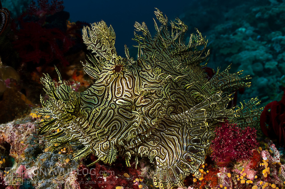 Lacy scorpionfish (Rhinopias aphanes) sitting in plain view at the top of a reef at the Black and Silver dive site near Nuakata Island in Milne Bay, Papua New Guinea