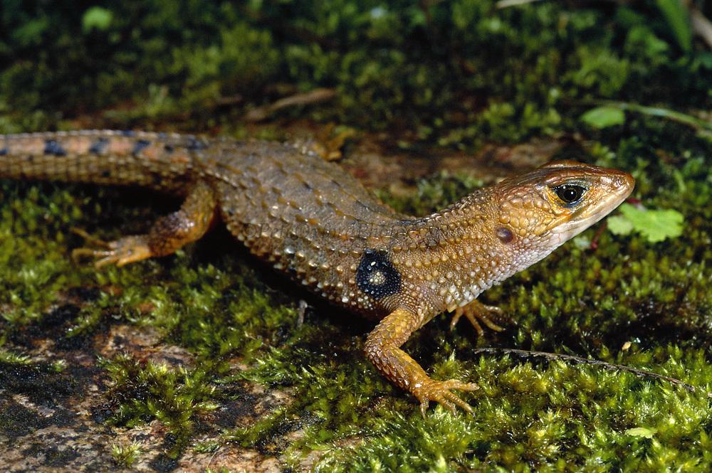 Alligator Lizard<br />Neusticurus ecpleopus<br />Cloud Forest, Manu National Park.  PERU.  South America