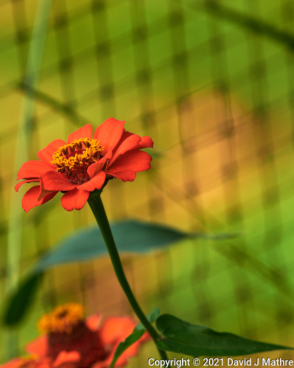 Zinnia. Image taken with a Nikon D850 camera and 70-300 mm VR lens.