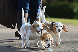 File photo dated 9/3/2017 of dogs being walked. Five dogs are being stolen every day across the UK, an investigation has found.