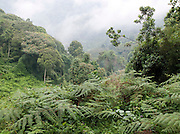 Landscape of trees in the Bwindi Impenetrable Forest of Uganda