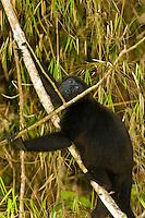 Howler monkey, Monkey Island, Panama Canal (Gatun Lake), Panama