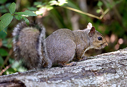 04 June 2015. Jean Lafitte National Historic Park, Louisiana.<br /> A grey squirrel in the swamp at the Barataria Preserve wetlands south or New Orleans.<br /> Photo©; Charlie Varley/varleypix.com