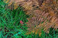Bracken Ferns in autumn in the Flathead National Forest, Montana, USA