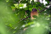 Ochre-bellied Boobook (Ninox ochracea) from Tangkoko National Park, northern Sulawesi, Indonesia.