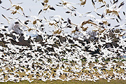 Snow geese take flight in a blur of feathers from a farmer's field in Skagit Valley, Washington, where thousands winter each year before traveling to the Arctic to nest.