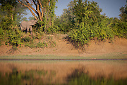 African elephant in South Luangwa National Park, Zambia