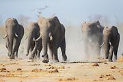 A thirsty herd of elephants (Loxodonta africana) kicking up dust as they run to a water hole to drink, Savuti, Botswana