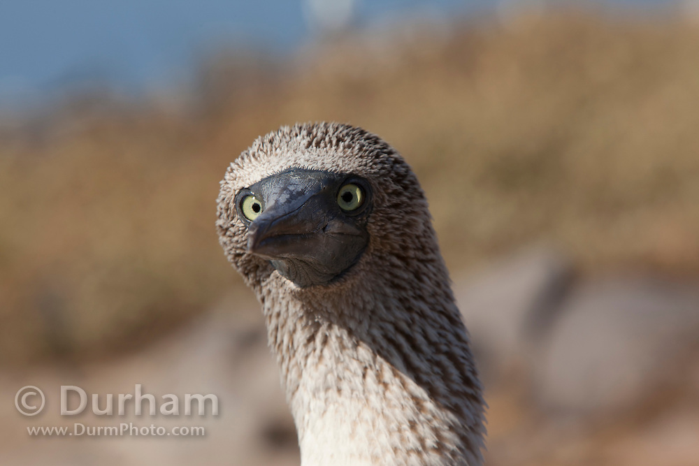 A blue-footed booby (Sula nebouxii) on Espanola Island, Galapagos Archipelago - Ecuador.