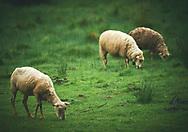 Ovejas pastando en la hierva