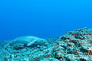endemic bandit angelfish, Apolemichthys arcuatus, swims past a male Hawaiian monk seal, Monachus schauinslandi ( critically endangered endemic species ), Lehua Rock, near Niihau, off Kauai, Hawaii ( Pacific Ocean )