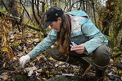 Rachel Wheat, a graduate student at the University of California Santa Cruz, takes a bear saliva DNA sample from a partially consumed salmon on the banks of the man-made spawning channel of Herman Creek, near Haines, Alaska.<br /> <br /> Wheat is collecting DNA samples of bears from bear saliva left on salmon carcasses as part of research for her doctoral dissertation. She hopes to determine if partially-consumed salmon carcasses can serve as a viable source for bear DNA to genotype individuals. She also looking to determine a minimum population estimate for the number of bears using the Chilkoot Valley and the ratio of males to females, particularly in light of increase human presence. <br /> <br /> The bear DNA collection is part of her dissertation which looks at how the availability of salmon affects eagle movement, bear activity, and subsistence fishermen. EDITORS NOTE: Images of Wheat capturing bald eagles for the bald eagle portion of her study are available here: http://denglerimages.photoshelter.com/gallery/Bald-eagle-research-Chilkat-River-eagle-migration-study/G0000GTyPvah7eiQ/<br /> <br /> During late fall, bald eagles congregate along the Chilkat River to feed on salmon. This gathering of bald eagles in the Alaska Chilkat Bald Eagle Preserve is believed to be one of the largest gatherings of bald eagles in the world.