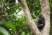 Gorilla, Odzala-Kokoua National Park.