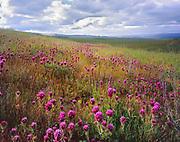 Owl's Clover alongthe Caliente Range,Carrizo Plain National Monument, California