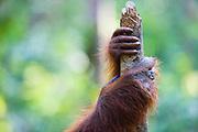 A close-up of an orangutan and an infant hand ( Pongo pygmaeus ) on a tree, Borneo, Indonesia