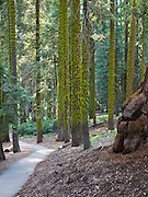 Green moss covers trees in Sequoia National Park