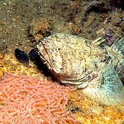 Sapo Cano hide in dark recesses to guard their eggs in coastal Venezuela and offshore islands Aruba and Bonaire to Tobago; picture taken Isla Cubagua, Venezuela.