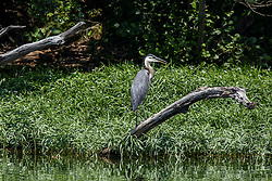 Great Blue Heron (Ardea herodias) is a large wading bird in the heron family Ardeidae, common near the shores of open water and in wetlands over most of North America