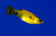 A black and gold molly (Poecilia latipinna) swimming in an aquarium at the King's Lynn Koi Centre Norfolk