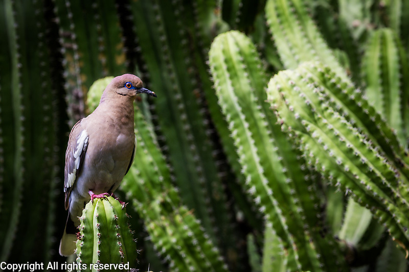 White winged dove perched on a cactus