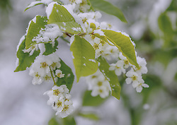 THEMENBILD - mit Neuschnee bedeckte Sträucher und Blüten, aufgenommen am 05. Mai 2019, Kaprun, Österreich // bushes and flowers covered with fresh snow on 2019/05/05, Kaprun, Austria. EXPA Pictures © 2019, PhotoCredit: EXPA/ Stefanie Oberhauser