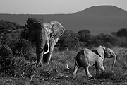Monochrome collection from Amboseli National Park, Kenya.