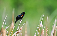 A male Red-winged Blackbird (Agelaius phoeniceus) are all black with a red shoulder patch bordered by yellow.  Found in marshes and meadows.  Cherry Creek State Park, Colorado.