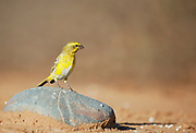 Yellow canary perched on a rock, Namib desert