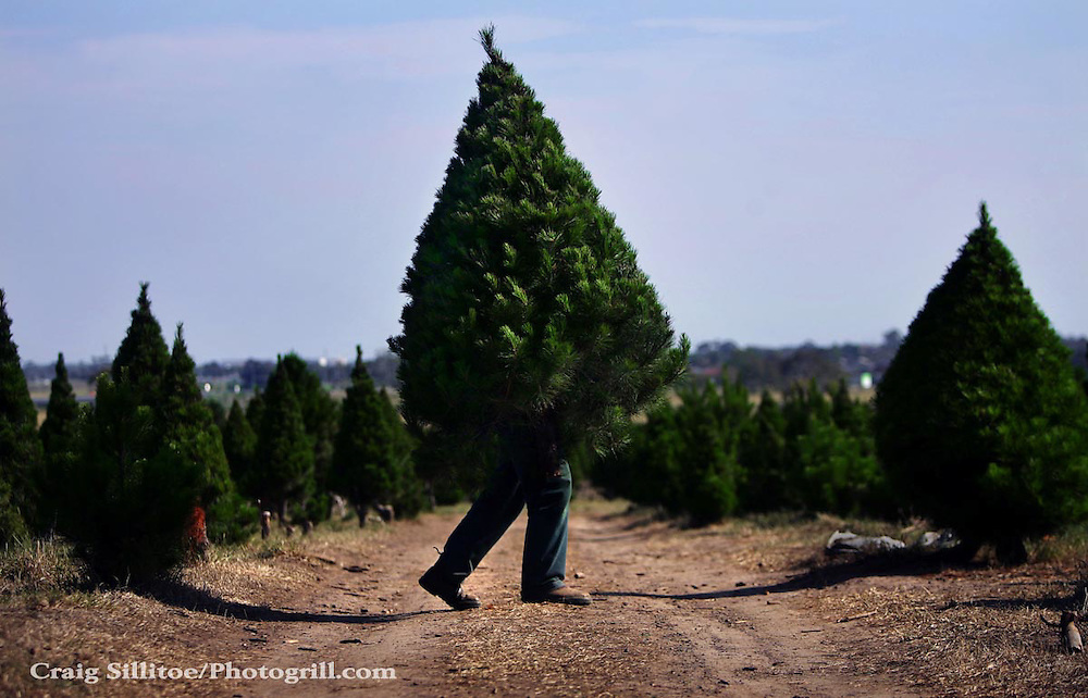 Fabio Iuele busy at work at North Pole Christmas Tree Farm as Christmas draws nearer Pic By Craig Sillitoe...coniferous, trees, carries, carry, carrying melbourne photographers, commercial photographers, industrial photographers, corporate photographer, architectural photographers, This photograph can be used for non commercial uses with attribution. Credit: Craig Sillitoe Photography / http://www.csillitoe.com<br /> <br /> It is protected under the Creative Commons Attribution-NonCommercial-ShareAlike 4.0 International License. To view a copy of this license, visit http://creativecommons.org/licenses/by-nc-sa/4.0/.