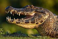 Brillenkaiman (Caiman yacare) im Pantanal, Brasilien<br /> <br /> Yacare Caiman (Caiman yacare) in the Pantanal, Brazil