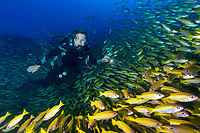 Dr. Sylvia Earle dives within a school of Yellow-Striped Goat Fish during an expedition to the Seychellys, Indian Ocean.