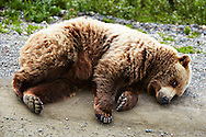 A grizzly bear casually takes a roadside nap in Denali National Park, Alaska.