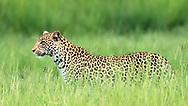 Leopard passes through lush grassland with a dragonfly, Chobe National Park, Botswana, © David A. Ponton