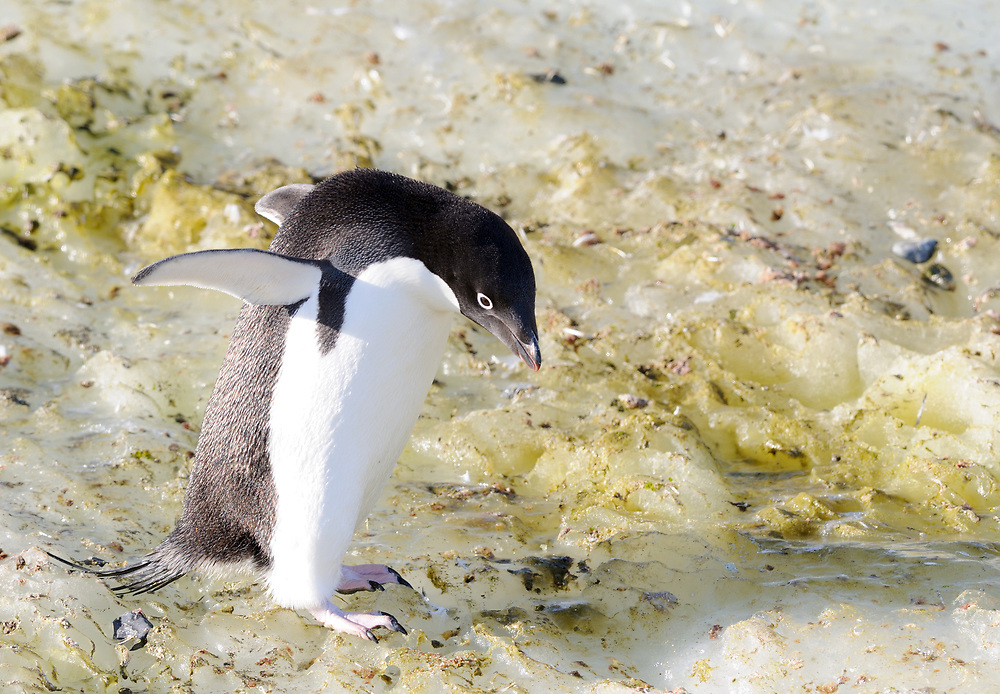 An Adélie penguin (Pygoscelis adeliae) carefully picks its way over ice near its nesting colony. Hope Bay, Antarctica. 02Mar16