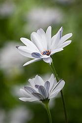 Osteospermum ecklonis 'Sky And Ice' - African Daisy
