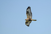 The large dark carpal patch and light remiges along with the dark belly told us we had found a Rough-legged Hawk.