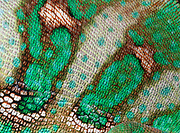 Close-up abstract of the skin pattern and texture of a Yemen or Veiled chameleon (Chamaeleo calyptratus) at the King's Lynn Koi Centre Norfolk captive