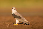 Black-winged kite (Elanus caeruleus) perched on a branch. Also called the black-shouldered kite, this bird of prey is found in sub-Saharan Africa and tropical Asia. It preys mainly on small animals such as mice, rats, lizards and frogs. Photographed in Eib Afek, Israel in October