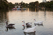 Ducks on the water, Park, Bosque Palermo, Palermo, Buenos Aires, Federal District, Argentina.