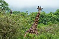 Masai Giraffes, Giraffa camelopardalis tippelskirchii, in Arusha National Park, Tanzania