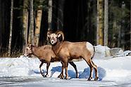Wildlife - Wild Sheep