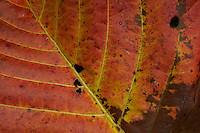 A colorful fallen leaf in the rain forest of Halmahera, Indonesia.
